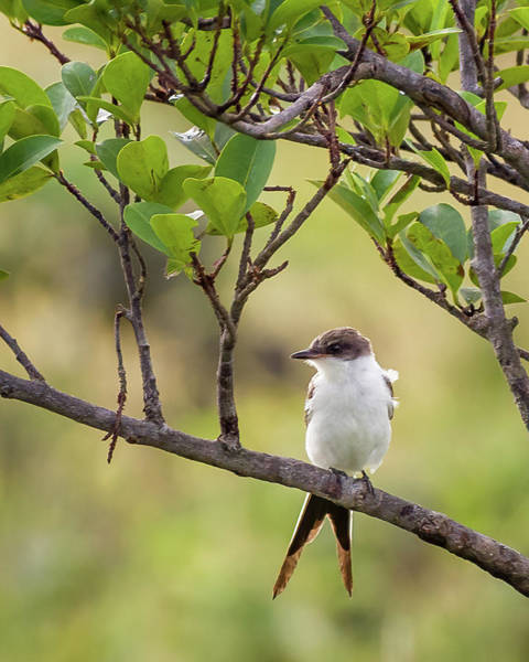 Photograph - Fork Tailed Flycatcher Hato Barley Tauramena Casanare Colombia by Adam Rainoff