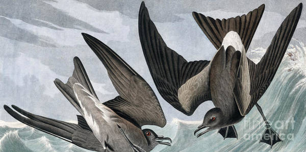 Wall Art - Painting - Fork Tailed Petrel, Thalassidroma Leachii By Audubon by John James Audubon