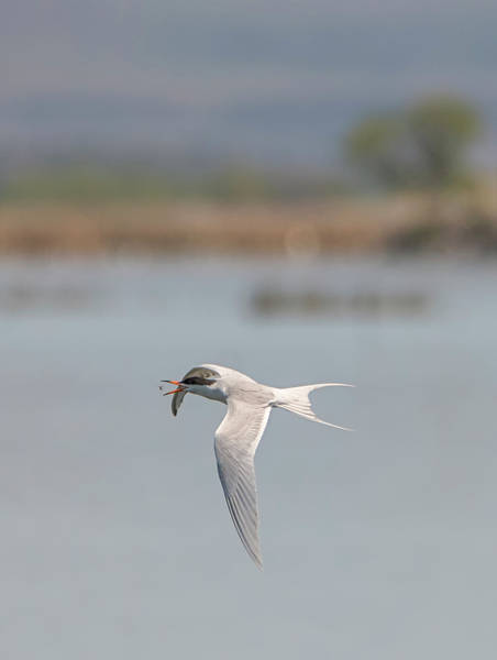Photograph - Forsters Tern Catching A Bug by Loree Johnson