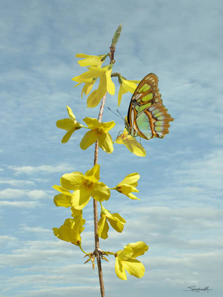 Wall Art - Digital Art - Forsythia And Butterfly by M Spadecaller