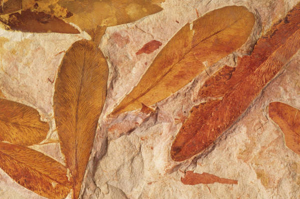 Prehistoric Era Wall Art - Photograph - Fossil Leaves by Nature/uig