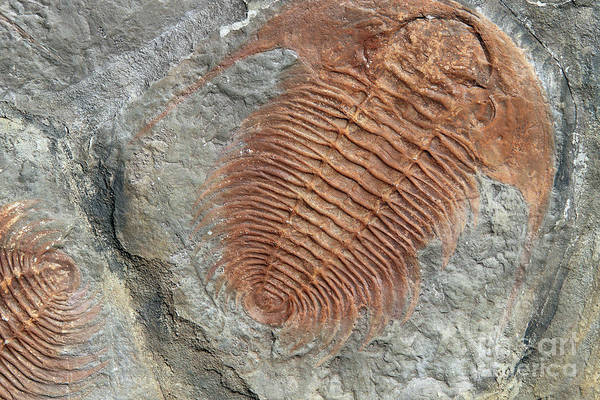 Wall Art - Photograph - Fossil Of A Trilobites by Michal Boubin