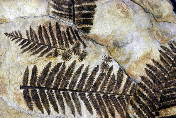 Prehistoric Era Wall Art - Photograph - Fossilized Ferns. Triassic. Karnische by John Cancalosi