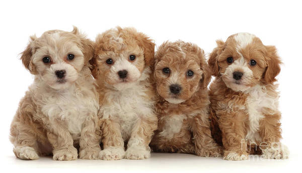 Photograph - Four Cavapoochon Puppies by Warren Photographic