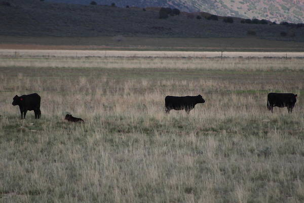 Photograph - Four Cows In Utah Oilette by Colleen Cornelius