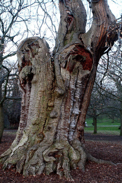 Photograph - Four Hundred Year Old Sweet Chestnut Tree by Aidan Moran