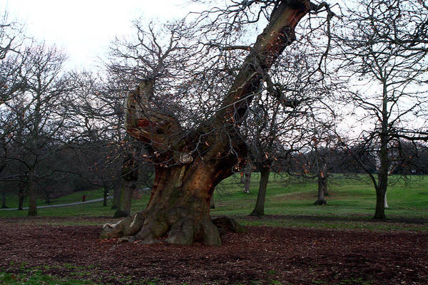 Photograph - Four Hundred Year Old Sweet Chestnut Tree In Greenwich Park by Aidan Moran