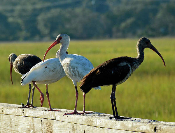 Photograph - Four Ibises In A Row by Bruce Gourley