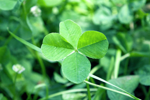 Four Leaf Clover Photograph - Four-leaf Clover by Snap Decision