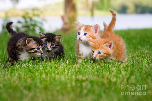 Wall Art - Photograph - Four Little Kittens Playing In Garden by Notaryes