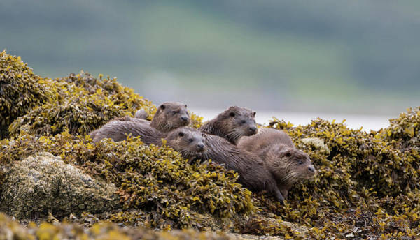 Photograph - Four Otters by Peter Walkden