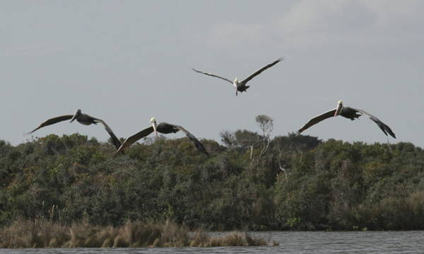 Pelican Island National Wildlife Refuge Wall Art - Photograph - Four Pelicans Flying Over Pea Island by Cathy Lindsey