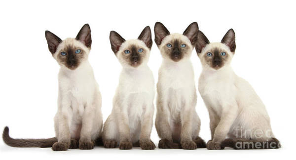 Photograph - Four Siamese Kittens by Warren Photographic
