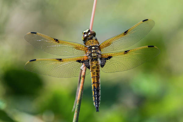 Photograph - Four-spotted Skimmer by Robert Potts