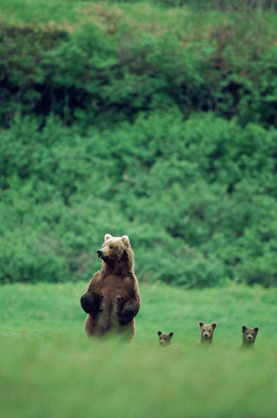 Grizzly Bears Photograph - Four Standing Grizzly Bears by Mark Newman