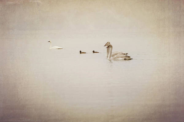 Trumpeter Swan Wall Art - Photograph - Four Swan Swimming by Blue Mountain Images