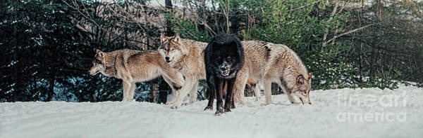 Photograph - Four Timber Wolves by Les Palenik