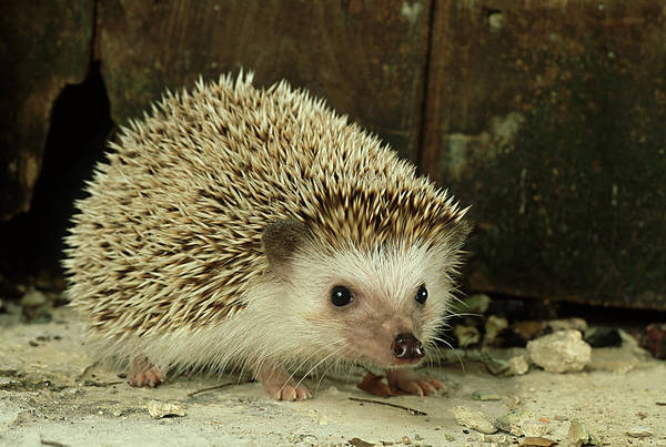 Vertebrate Photograph - Four-toed Hedgehog, Atelerix by Les Stocker