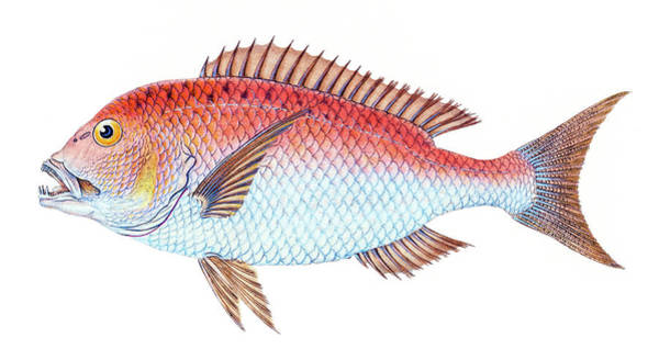 Aqua Drawing - Four Toothed Sparus  by David Letts