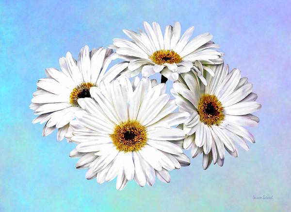 Photograph - Four White Daisies by Susan Savad