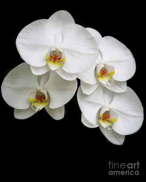 Photograph - Four White Orchids by Sabrina L Ryan