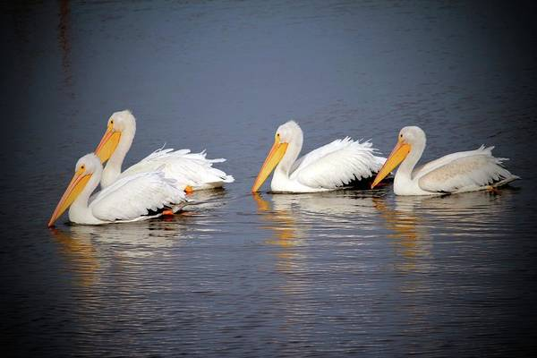 Photograph - Four White Pelicans by Cynthia Guinn
