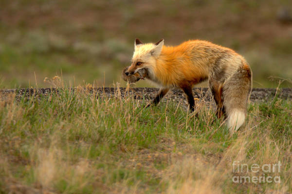 Wall Art - Photograph - Fox After The Hunt by Adam Jewell