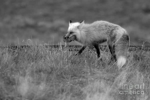 Wall Art - Photograph - Fox After The Hunt Black And White by Adam Jewell