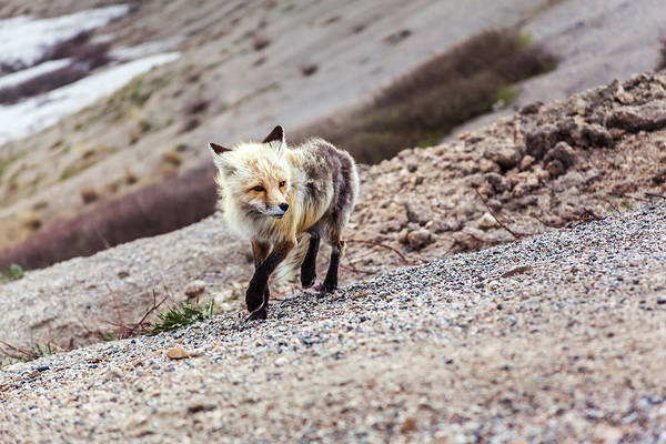Photograph - Fox At Loveland Pass by Jeanette Fellows