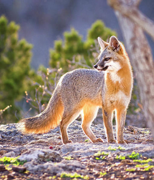Look Away Photograph - Fox At Twilight by Dean Fikar