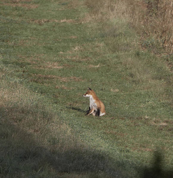 Photograph - Fox Bsking In The Sun 1 by Paul Ross