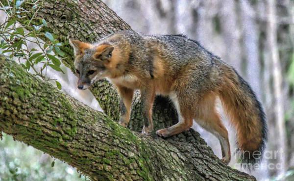 Wall Art - Photograph - Fox Climbing A Tree by Paulette Thomas
