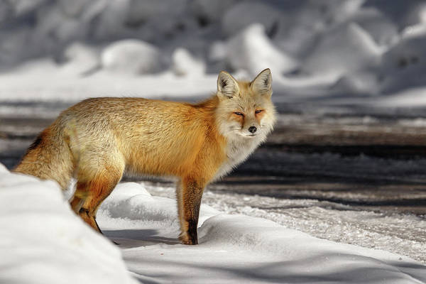 Photograph - Fox Close Up by Ronnie and Frances Howard