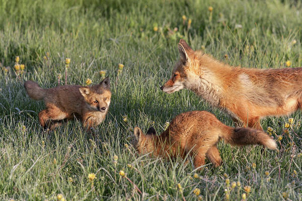 Photograph - Fox Family by Ronnie and Frances Howard