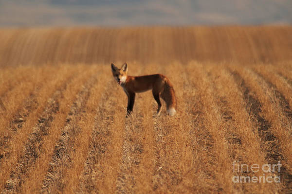 Wall Art - Photograph - Fox In A Field by Jeff Swan