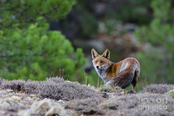 Tormenta Wall Art - Photograph - Fox In The Forest by Juan Carlos Ballesteros