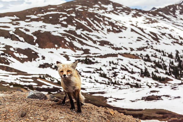 Photograph - Fox In The Wind At Loveland Pass by Jeanette Fellows