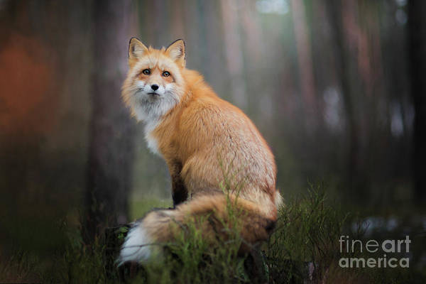Wall Art - Photograph - Fox by Iza Łysoń