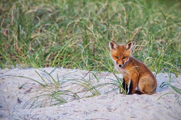 Photograph - Fox Kit by Bob Decker