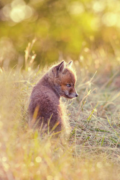 Cute Overload Photograph - Fox Kit Series - Cuteness In Foxcoat by Roeselien Raimond