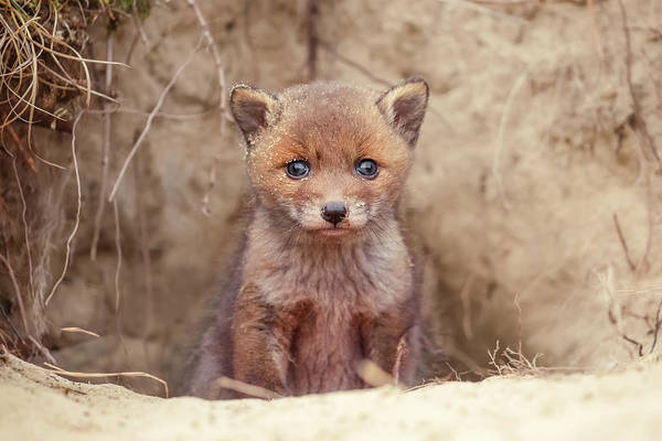 Cute Overload Photograph - Fox Kit Series - Newborn Fox Baby by Roeselien Raimond