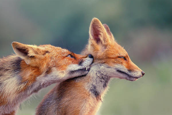 Wall Art - Photograph - Fox Love Series - Love Ya by Roeselien Raimond