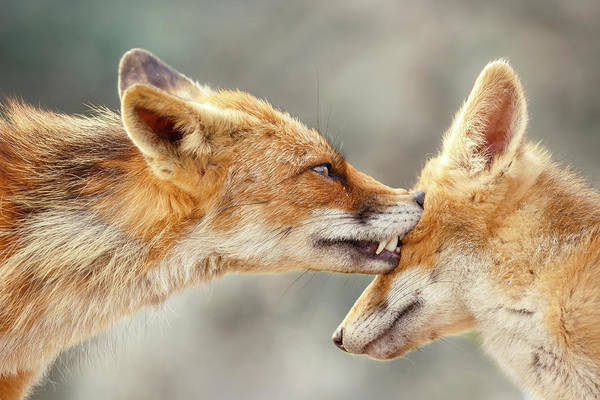 Wall Art - Photograph - Fox Love Series - That's My Eye by Roeselien Raimond