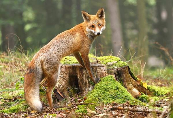 Wall Art - Photograph - Fox On Stump by Miroslav Hlavko