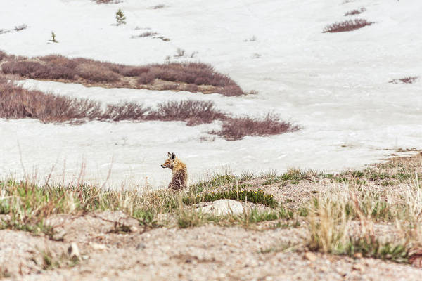 Photograph - Fox Resting At Loveland Pass by Jeanette Fellows