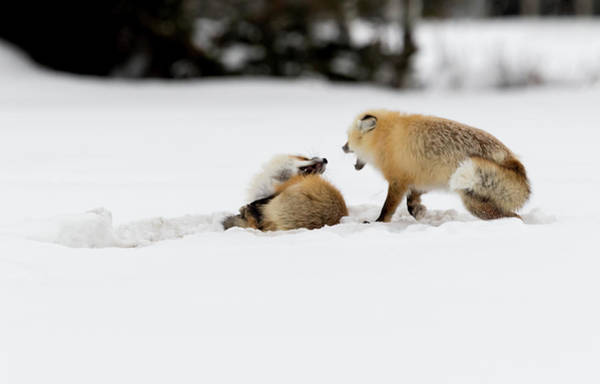 Photograph - Fox Siblings At Play by Ronnie and Frances Howard