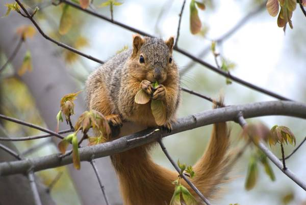 Photograph - Fox Squirrel Eating Helicopters by Don Northup
