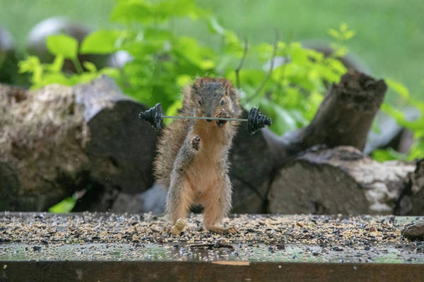 Photograph - Fox Squirrel Lifting Wights With One Hand by Dan Friend