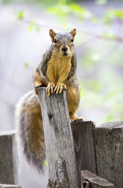 Photograph - Fox Squirrel by Michael Chatt