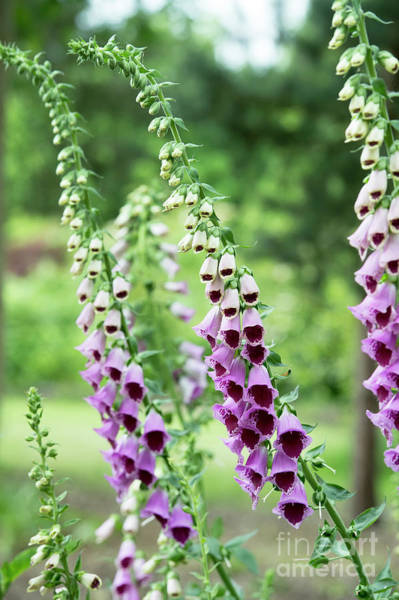 Wall Art - Photograph - Foxglove Sugar Plum Flowering by Tim Gainey